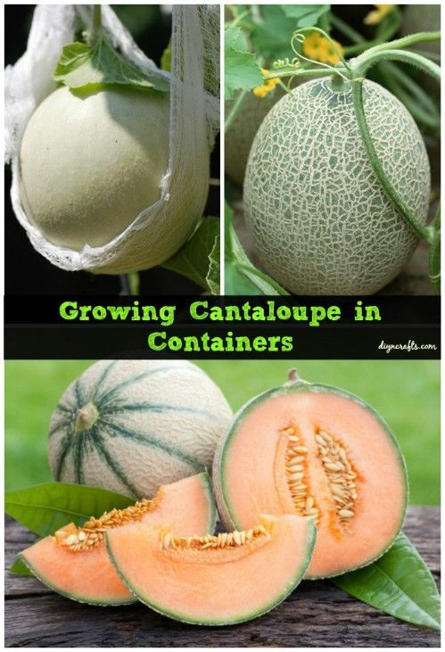 Growing Plants In Containers Interested The Cantaloupe Bananas Asparagus Pineles Mushrooms Quinoa