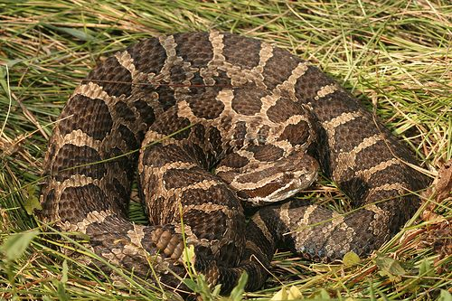 Eastern Massasauga Snake Massasauga Rattlesnakes Are A Shy Species Which Are Hardly Infamous As Their Reputation States Snake Rattlesnake Poisonous Snakes