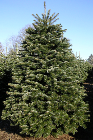 Republic Of Georgia Trees Google Search Silver Christmas Tree Growing Tree Tree Farms