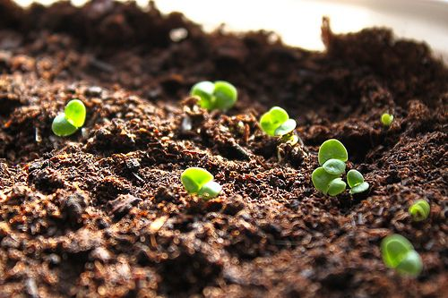 Growing Basil From Seed Is Fairly Easy Transplant The Tiny Shoots Once They Reach 1 5