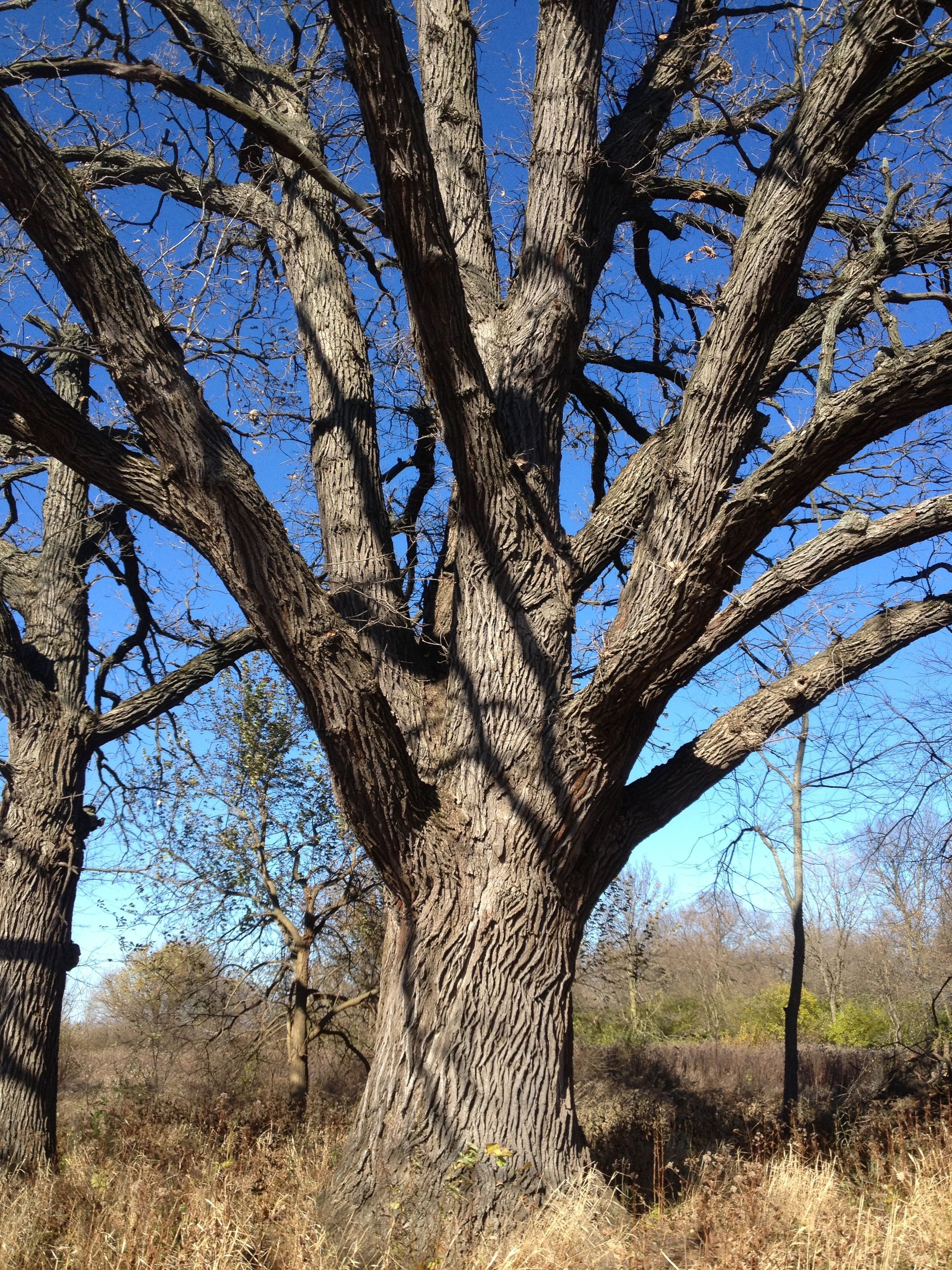 350 year burr oak tree at Midewin Tall Prairie Grass
