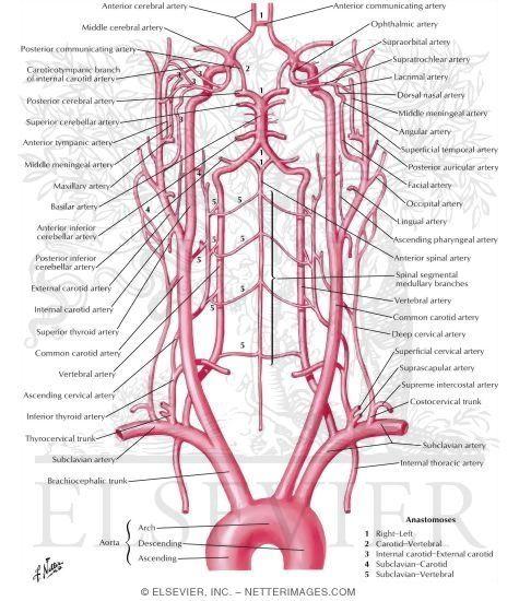 Schema of blood supply to brain arteries to brain schema medecine schema of blood supply to brain arteries to brain schema ccuart Gallery