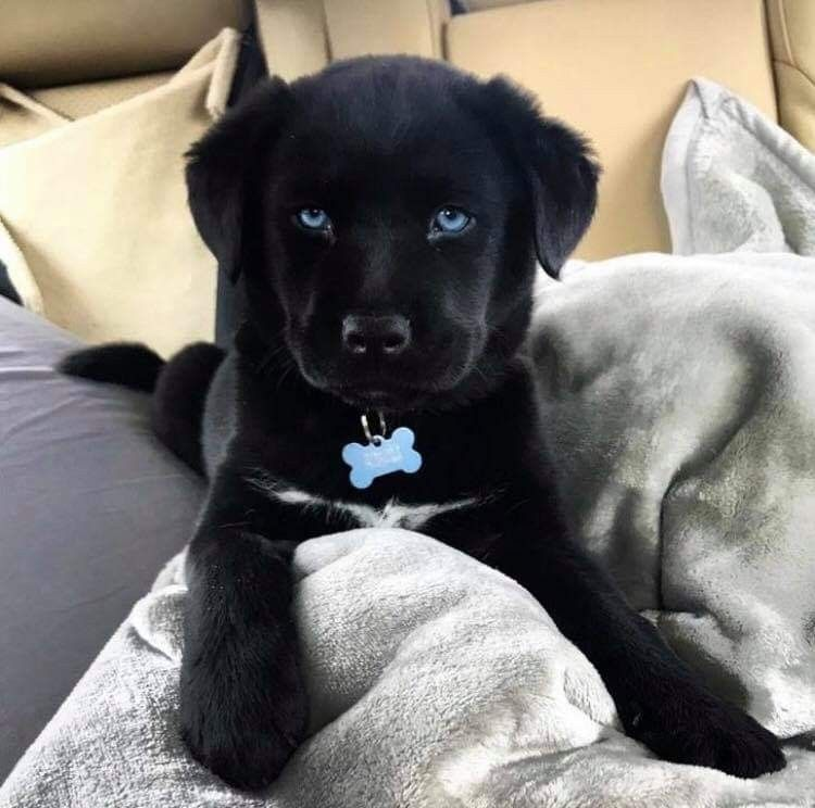 Mix Black Labrador Husky Puppy Dog Pictures Cute Dogs Cute
