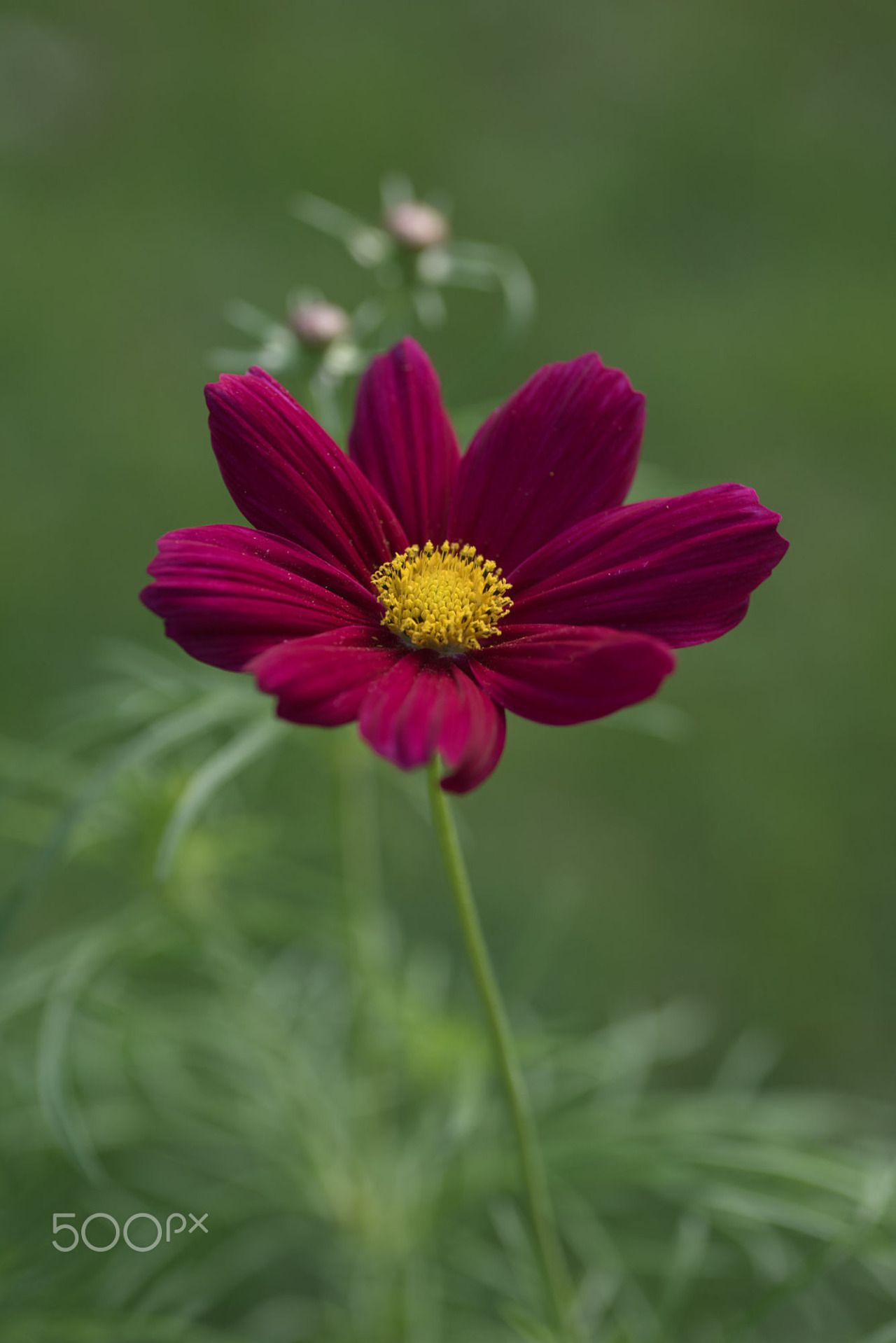 ภเgคk ค๓ Cosmos Flowers Beautiful Rose Flowers Beautiful Flowers