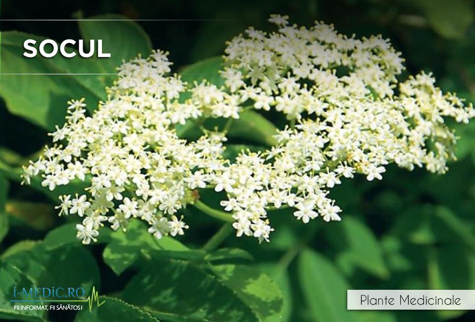 Socul poate fi eficient pentru ameliorarea simptomelor de gripa si raceala. http://www.i-medic.ro/plante/socul