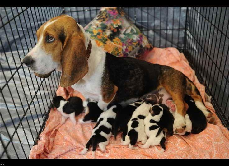 Basset hound arkansas basset hound dogs pets
