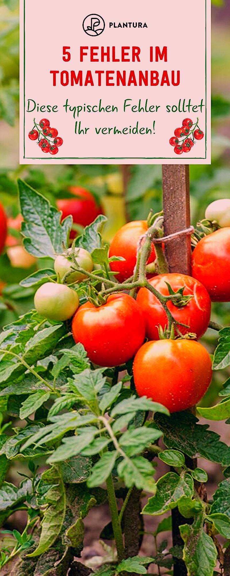 Photo of Vermeidet diese Fehler beim Tomaten anpflanzen !