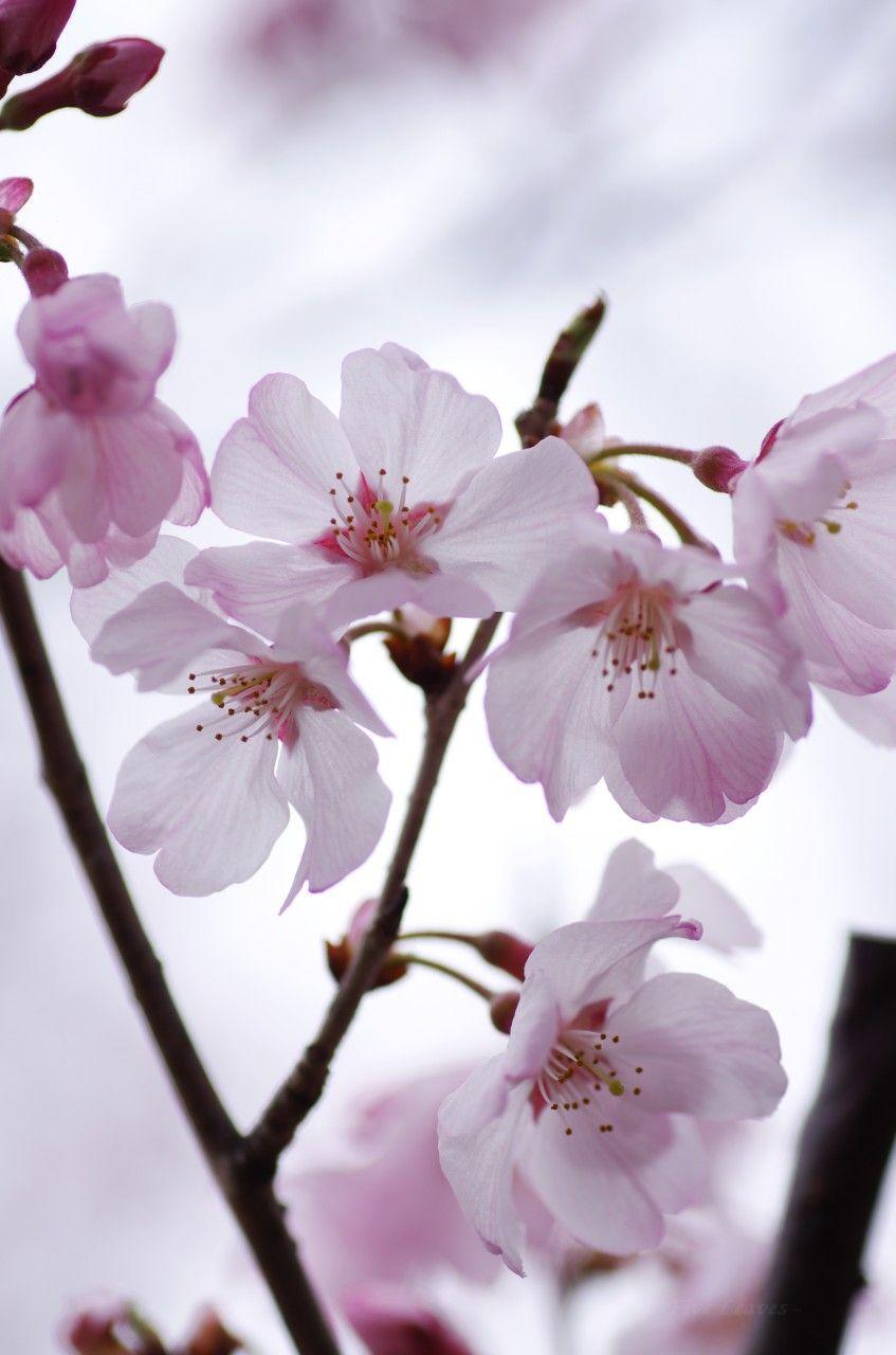 桜(さくら)  生憎の曇り空でしたが、近所ではちらほら咲き始め  Cherry blossoms