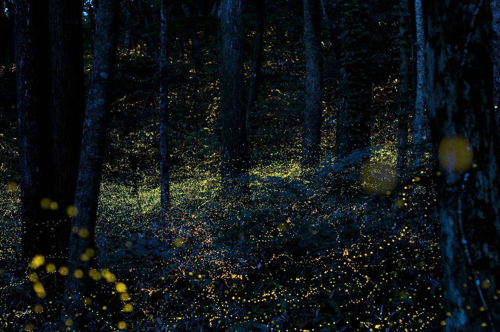 Okayama Based Photographer Tsuneaki Hiramitsu Has Taken Shots Of Fireflies For Years Often Going Out The City And Into Dark Wooded Areas Where