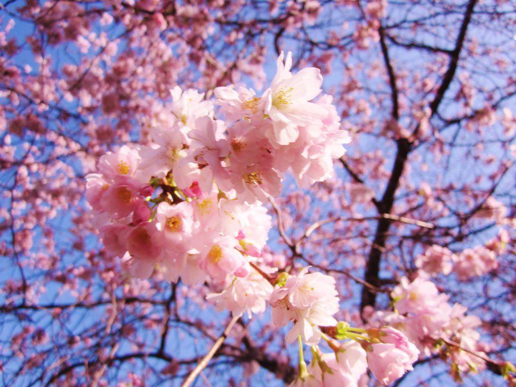 Sunshine Blossom By Loverlyness Blossom Blossom Trees Flower Garden