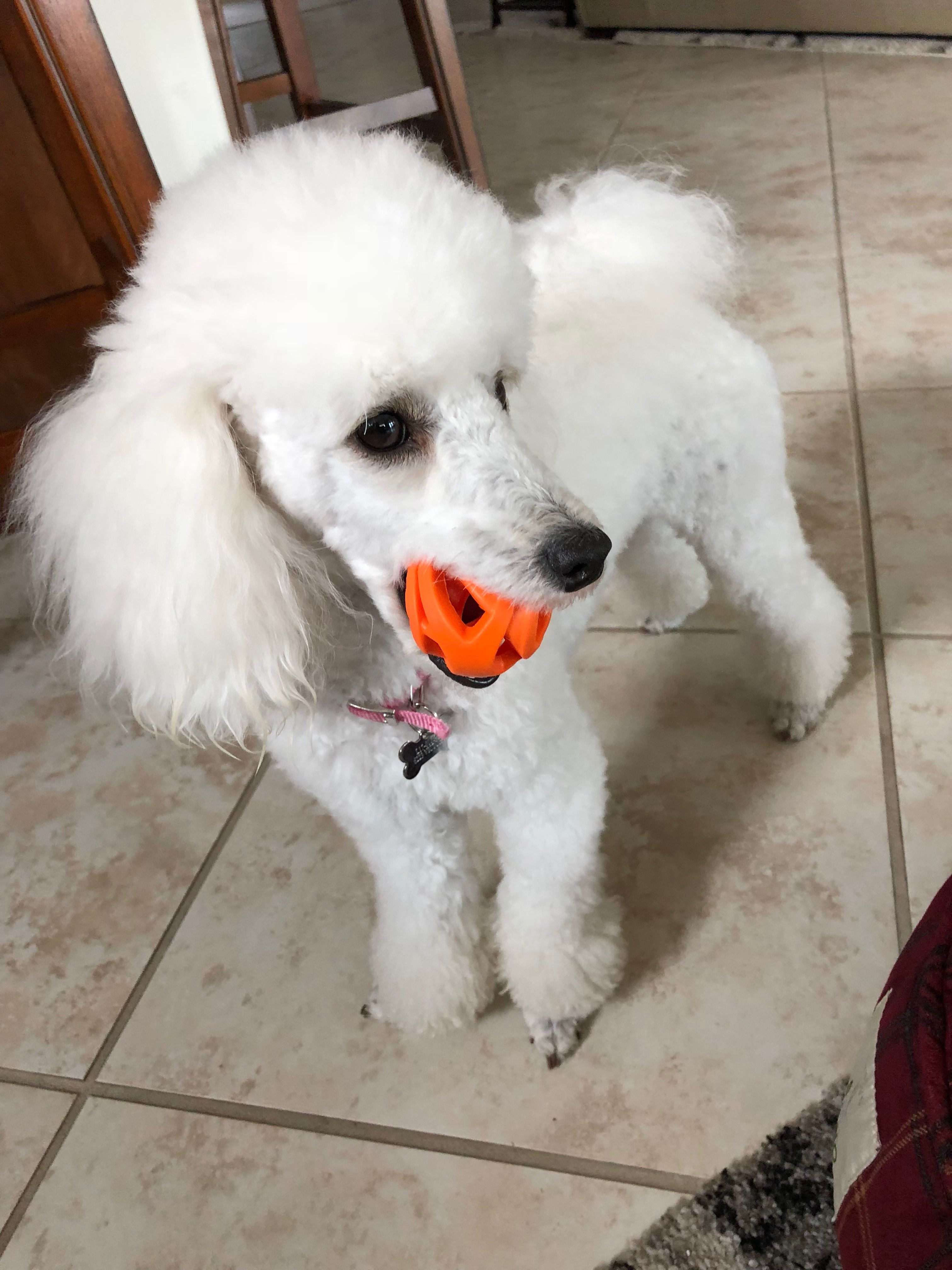 Pin By Donna Lynne On Poodle Dogs Mini Poodles Poodle