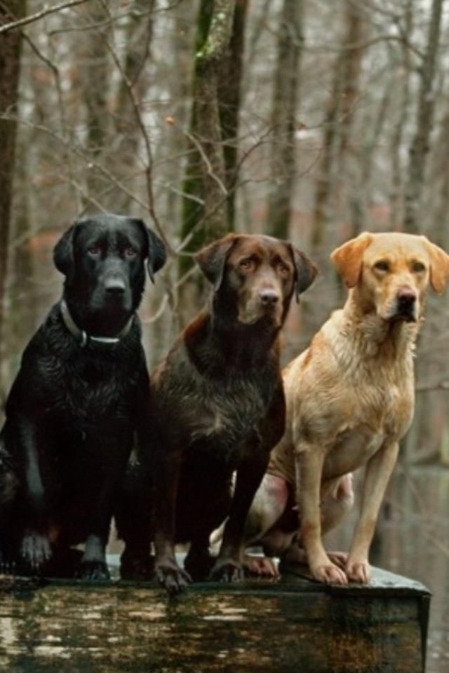 Best Dog Food For Labs >> Black, chocolate and yellow lab! Maybe one day we will get ...