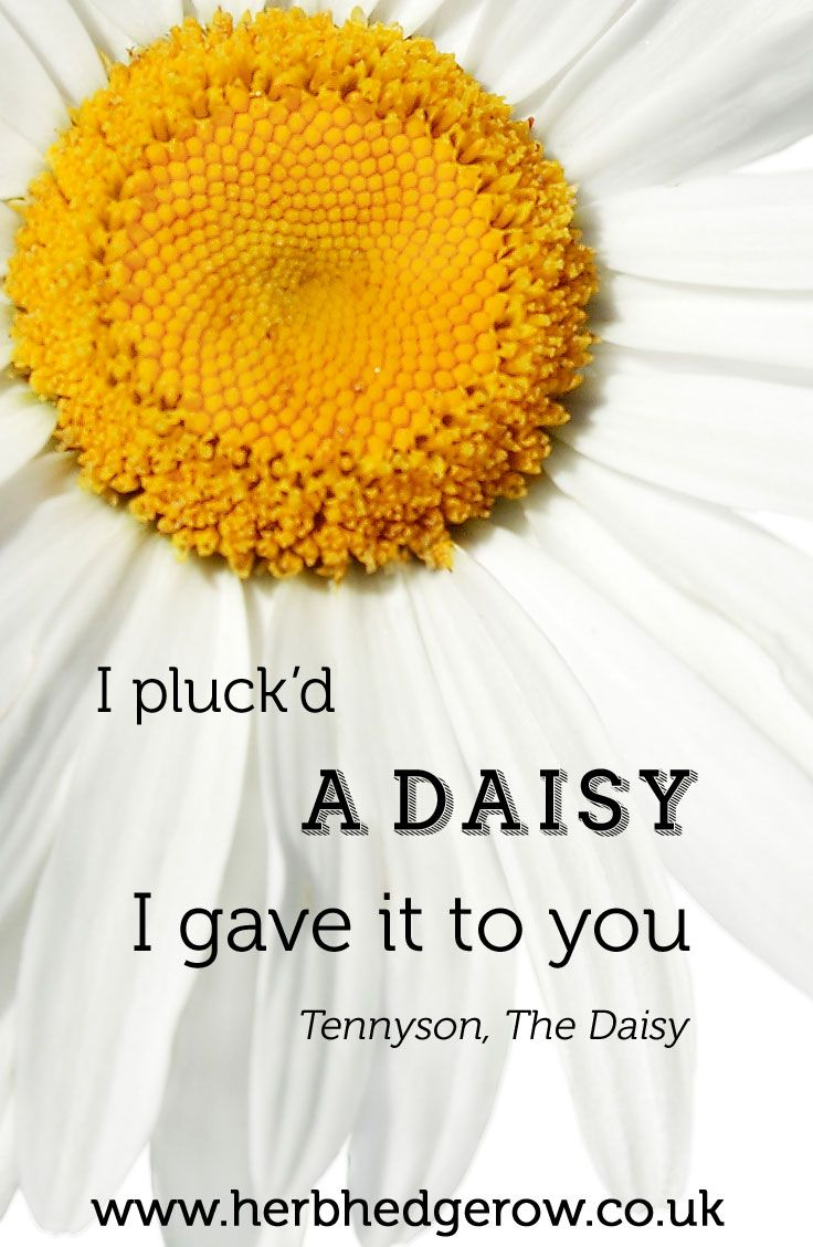I Pluckd A Daisy I Gave It To You Tennyson The Daisy Herb