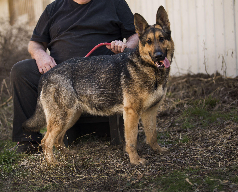 Martha Vom Golden Haus Goldenhausk9 Com Dog Breeder German Shepherd Dogs Shepherd Dog
