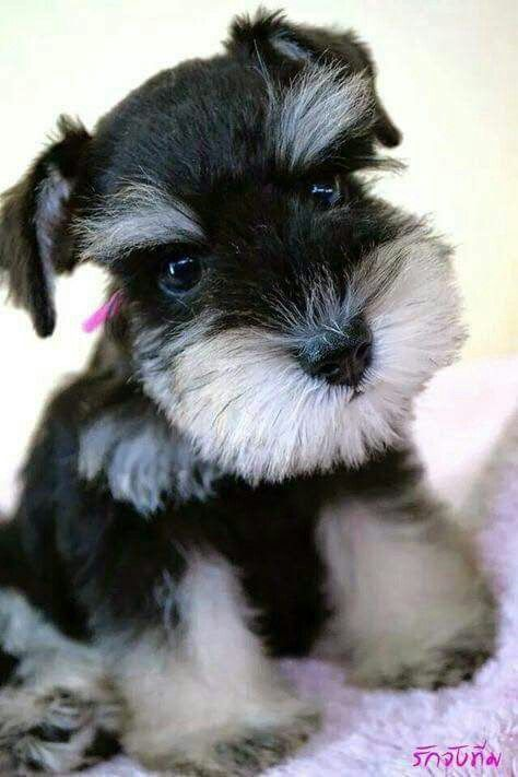 Pin By Kathy On My Schnauzer Friend Miniature Schnauzer Puppies Schnauzer Puppy Hypoallergenic Dog Breed