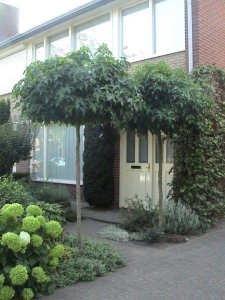 liquidambar styraciflua 39 gumball 39 van den berk boomkwekerijen sortiment bomen heesters. Black Bedroom Furniture Sets. Home Design Ideas