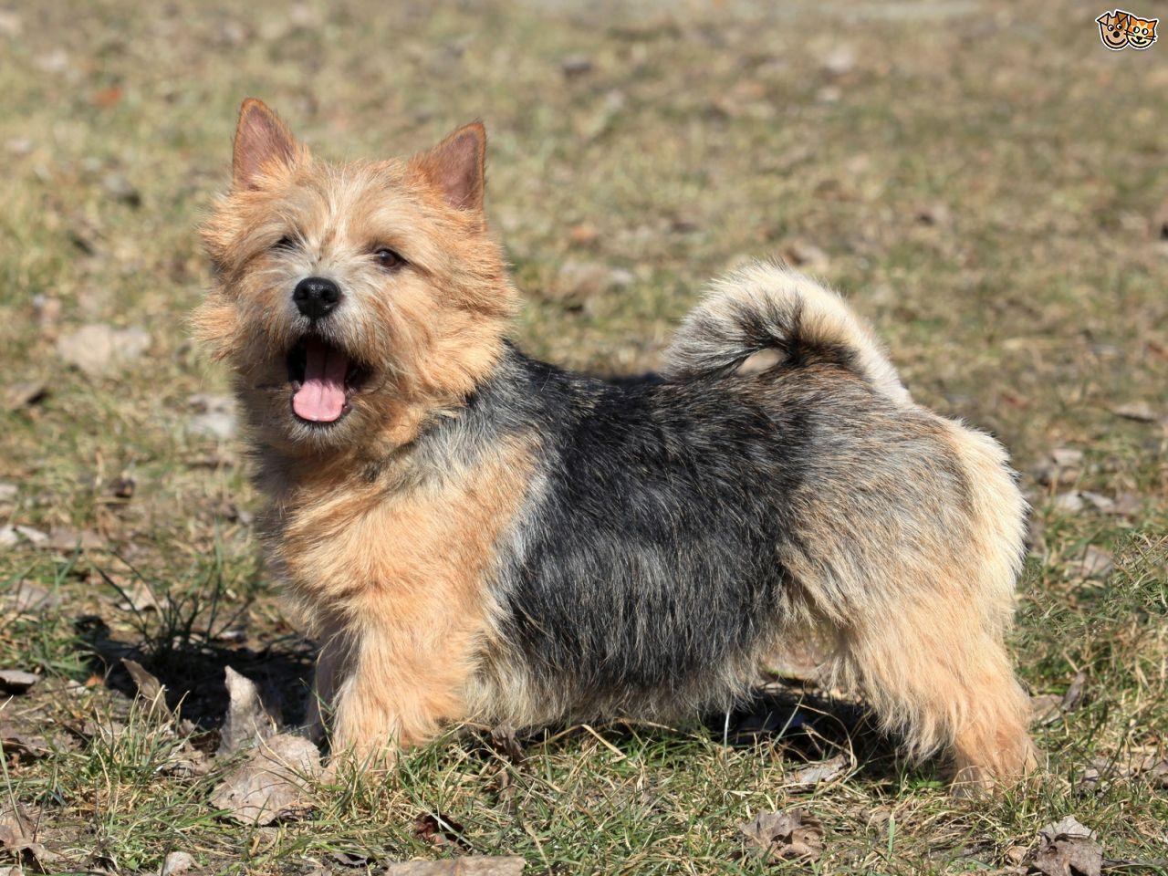 Norwich Terrier Norwich Terrier Norfolk Terrier Norwich Terrier Puppy