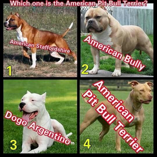 Pin By Teri Haase On Learn The Difference Between Apbt And American Bully Bully Breeds American Pitbull Terrier Pitbull Dog