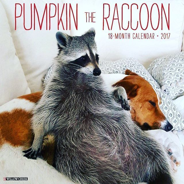 From @pumpkintheraccoon - We are excited to announce Pumpkin The Raccoon calendars are now for presale! Follow the link in our bio to Amazon to order one of your 18 month calendars so you can see Pump, Toffee and Oreo everyday!