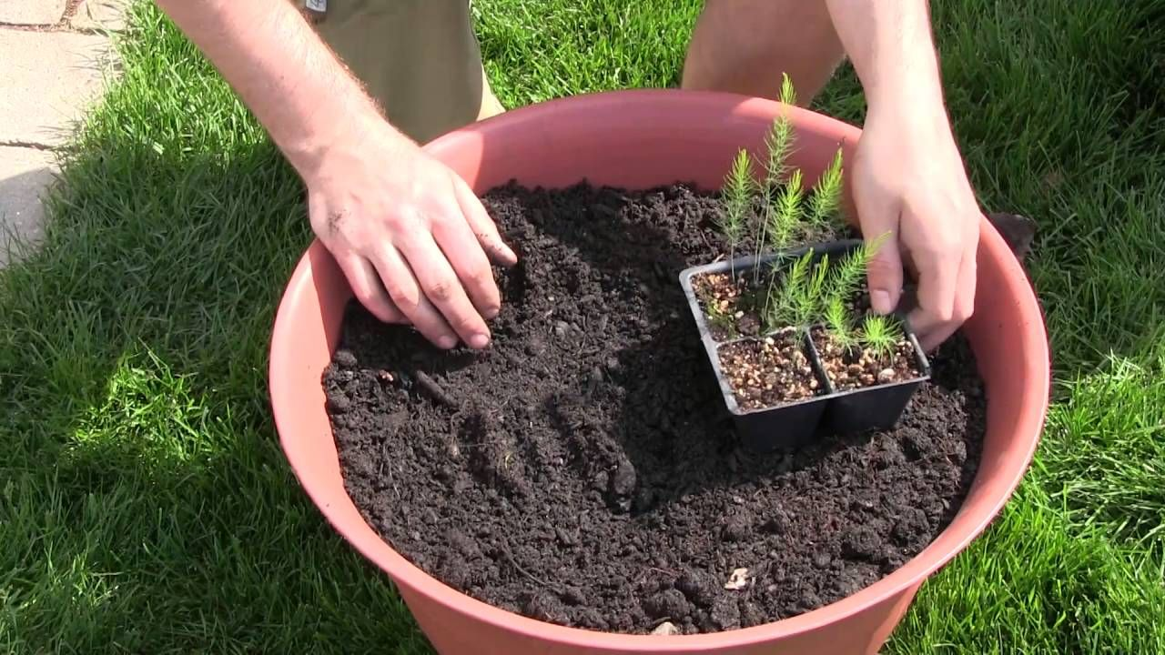 How To Grow Asparagus In Containers Complete Growing 400 x 300