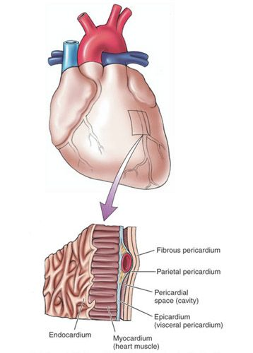 Layers of the heart and pericardium   I\'m In Medical School ...