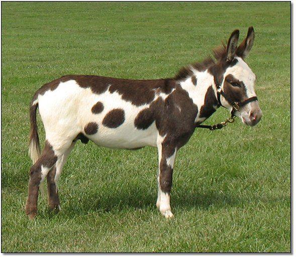 Spotted Donkey Miniature Donkey Zorse Mini Horse