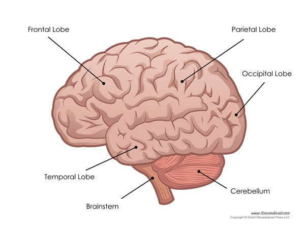 Human Brain Diagram Labeled Unlabled And Blank Human Brain Diagram Brain Diagram Human Brain