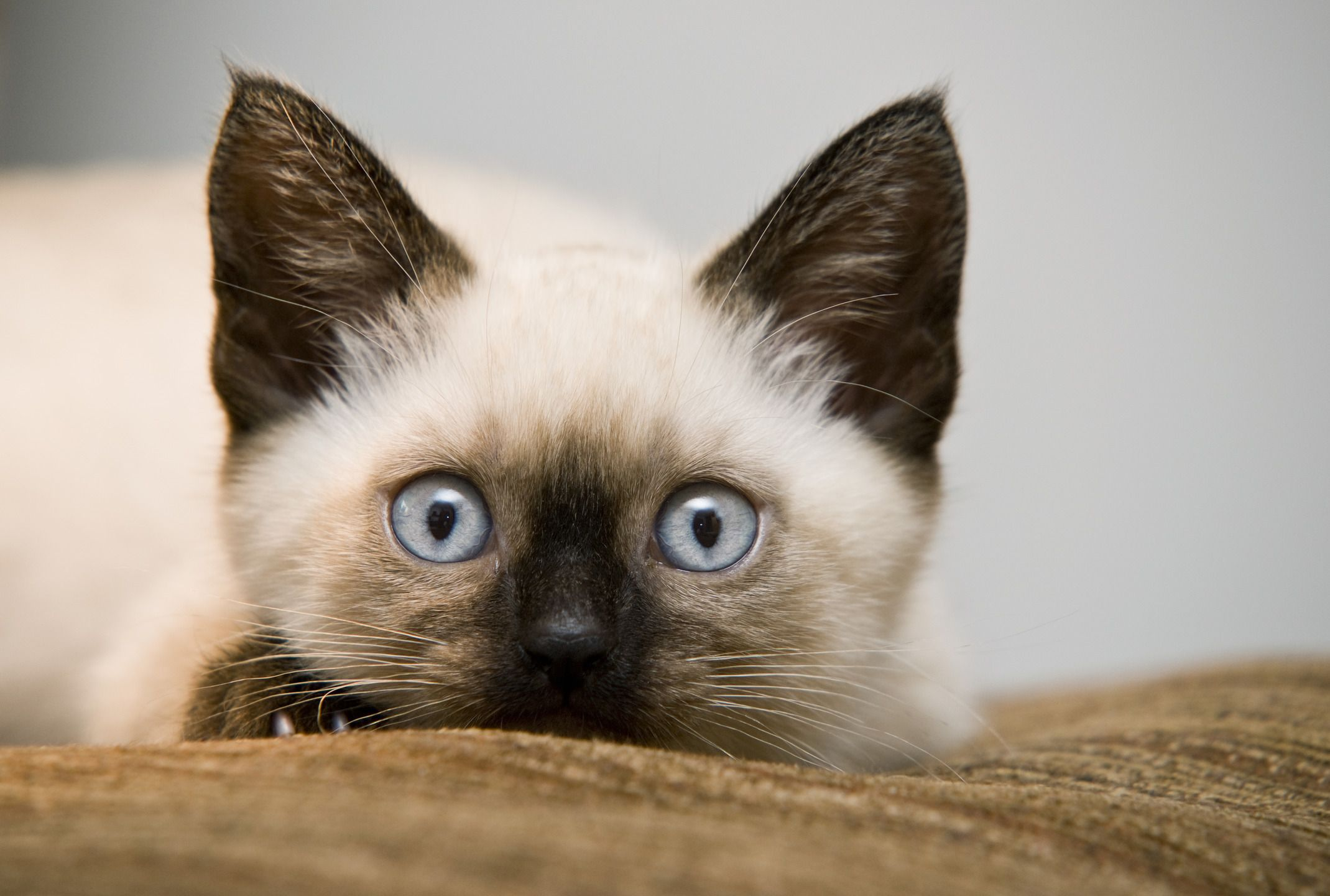 Blueeyed beauty Siamese kittens, Pretty cats, Siamese cats