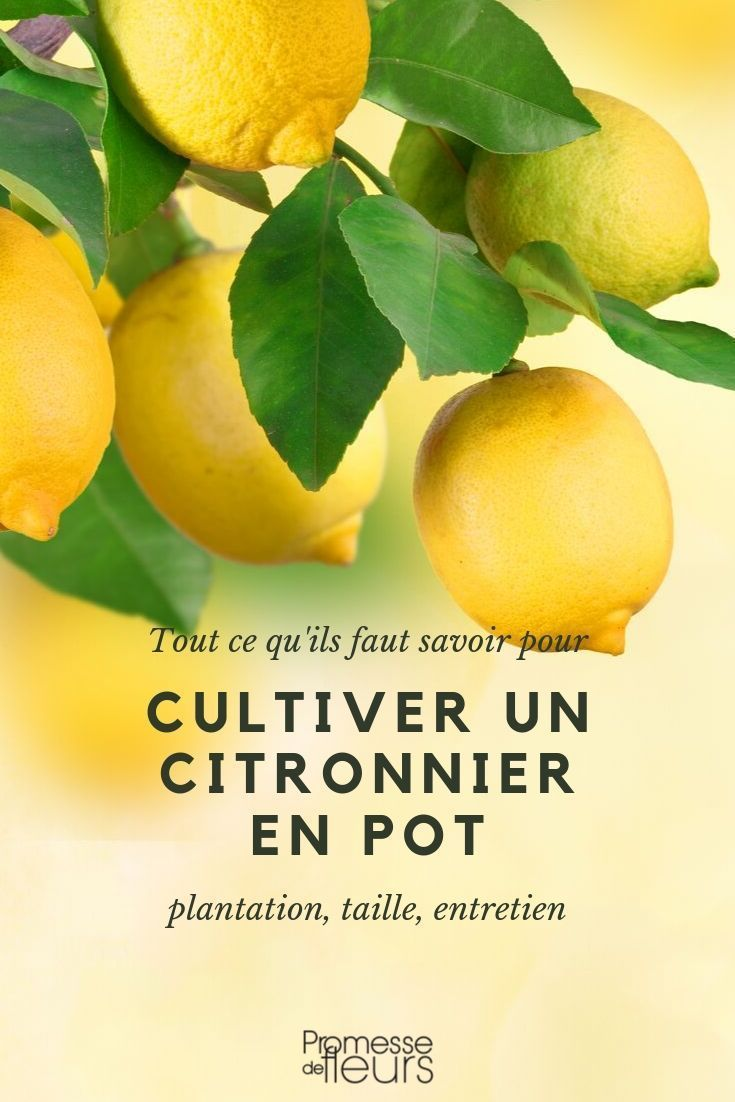 Citronnier En Pot Cultiver Et Entretenir En 2020 Cultiver Citronnier Arbuste En Pot