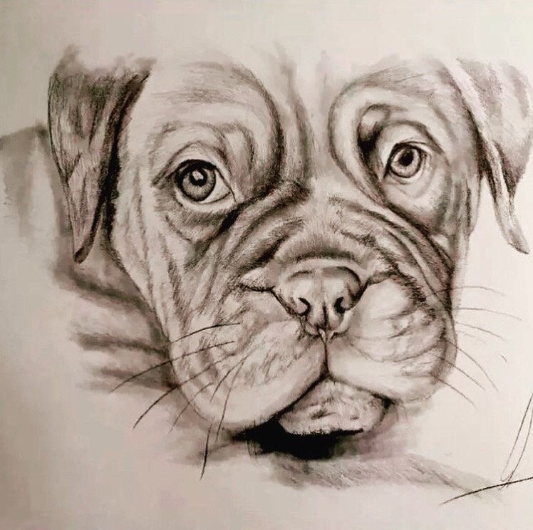 Petspawfectportraits Dogo De Burdeos Perrito Drawing