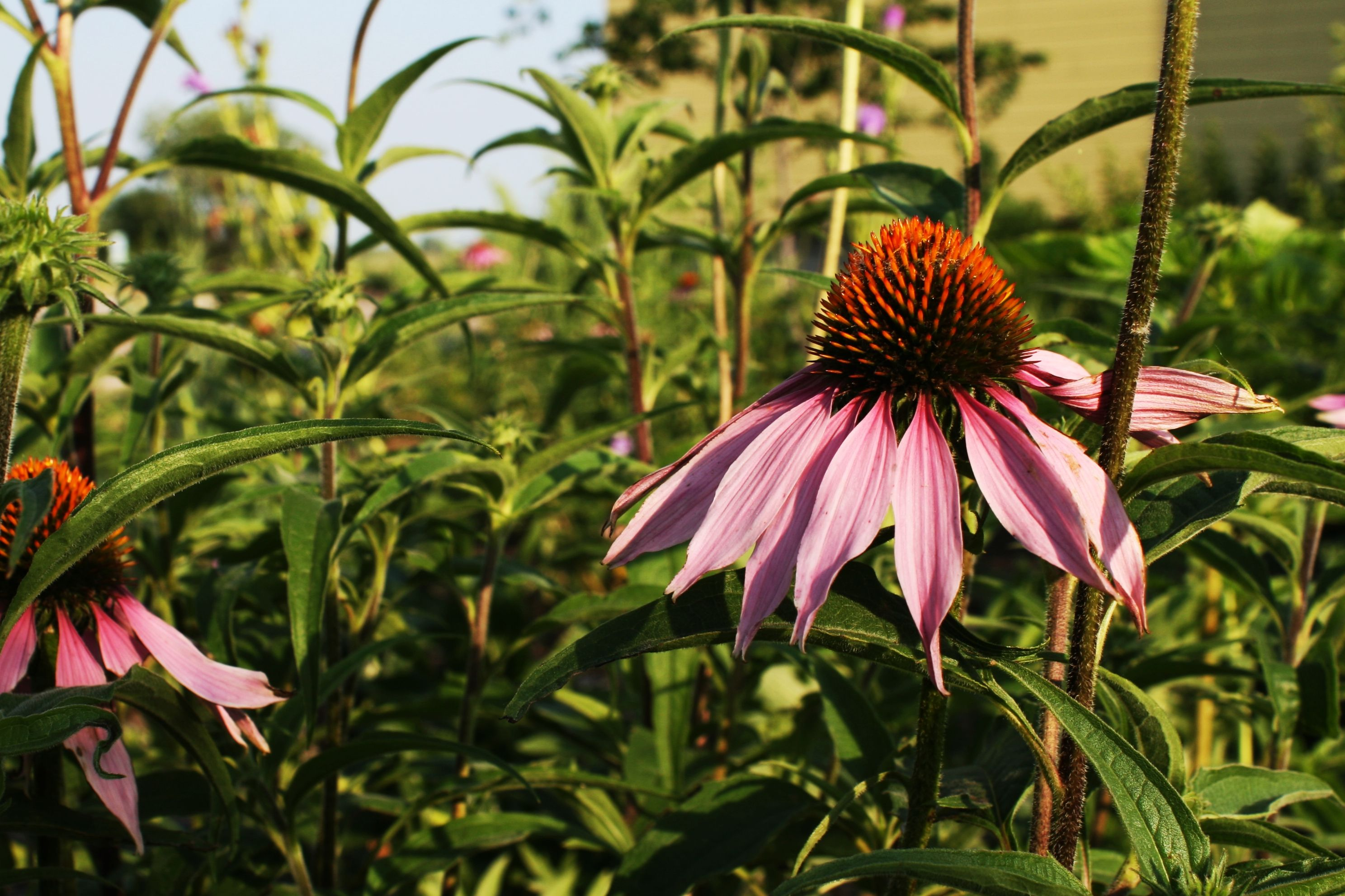 Purple Coneflower (Echinacea purpurea) is a common native plant used in backyard gardens. The attractive purple flowers attracct a variety of pollinators and American Goldfinch will visit the plant to feed on mature seeds. Photo taken by Lane Richter