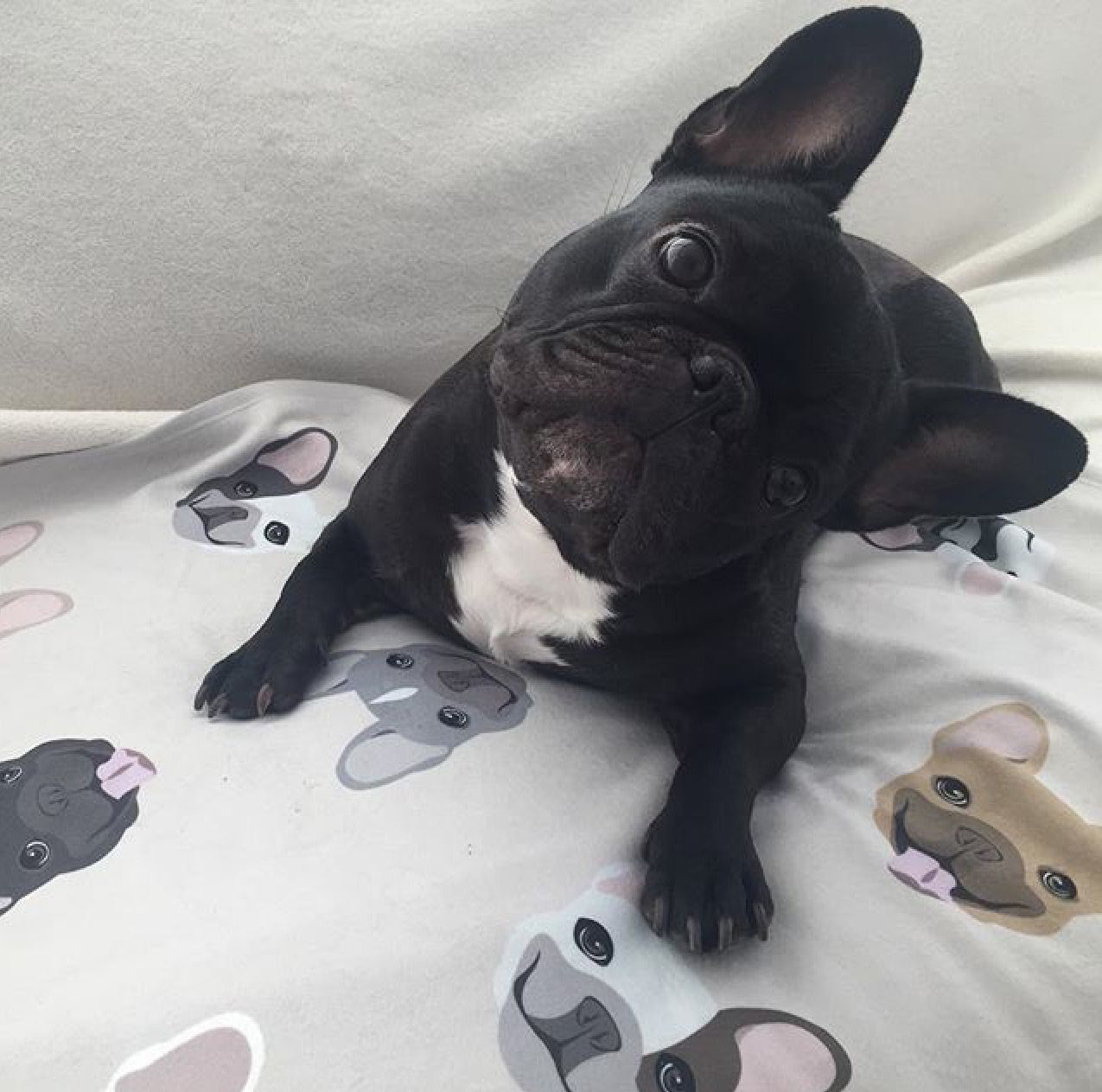 French Bulldog On A Blanket From The Frenchie Store Www