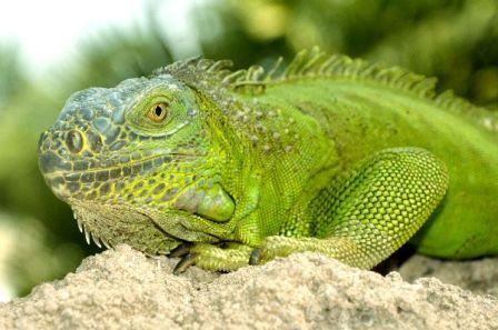 La dieta de la iguana verde qu comen las iguanas