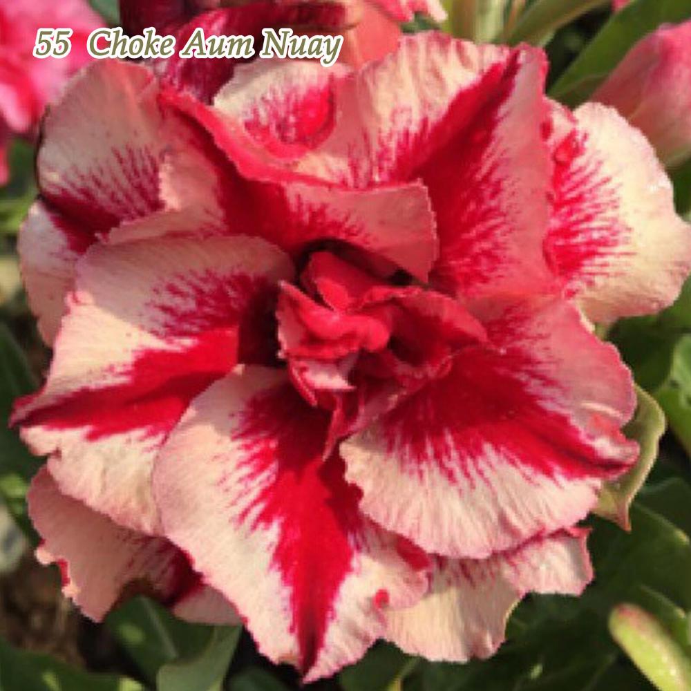 Adenium Obesum Desert Rose Plant Bonsai Double Flowered 55 Tong Yod New Ebay Desert Rose Plant Planting Roses Adenium