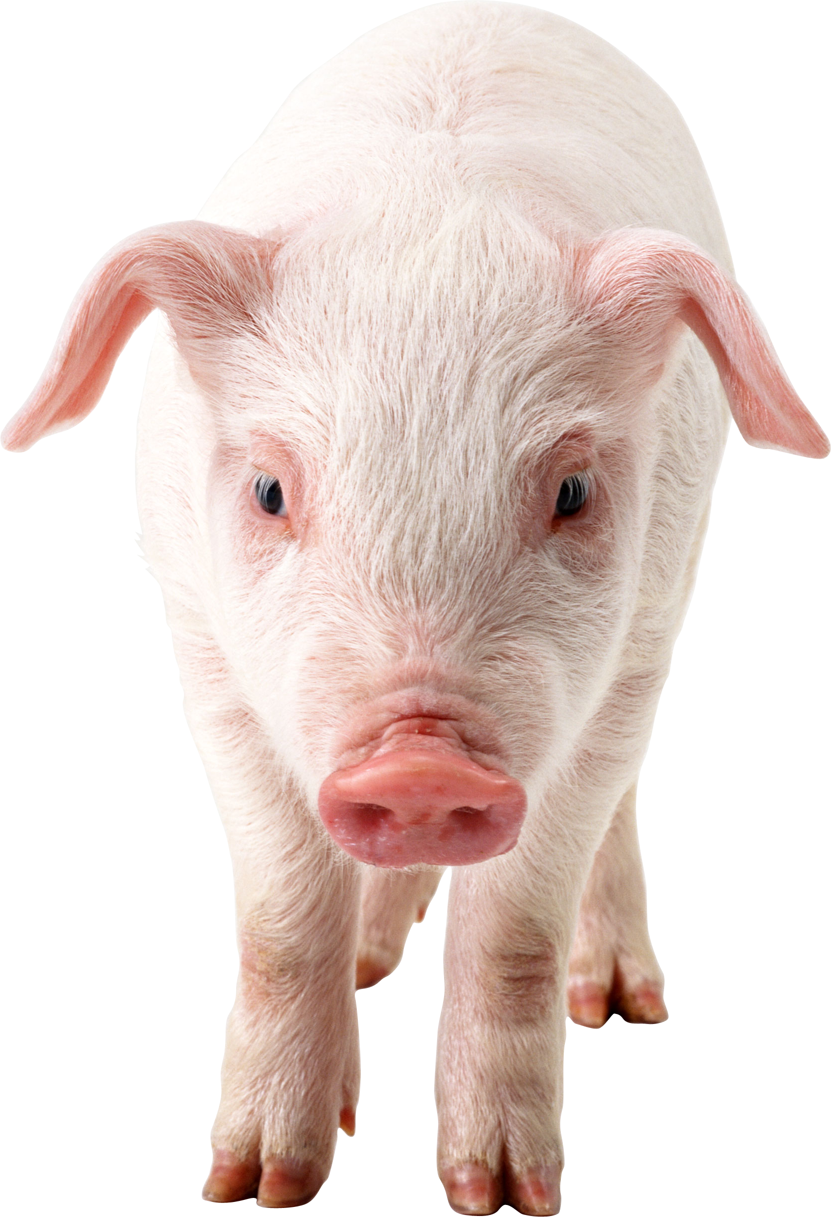 Pig Frontview Png Image Pig Images Pig Png Photoshopped Animals
