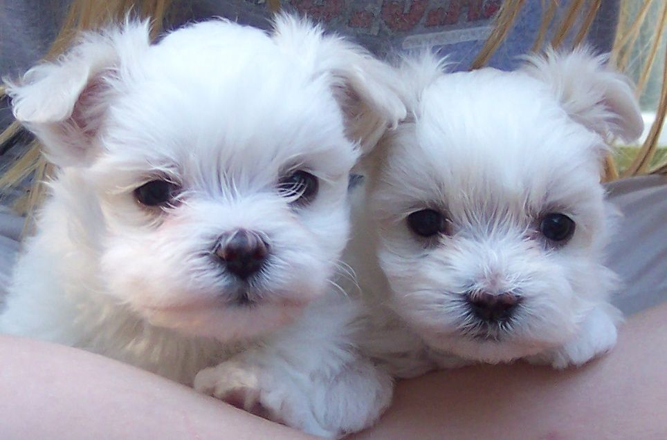 Home New Mexico Maltese Breeders Maltese puppy, Teacup