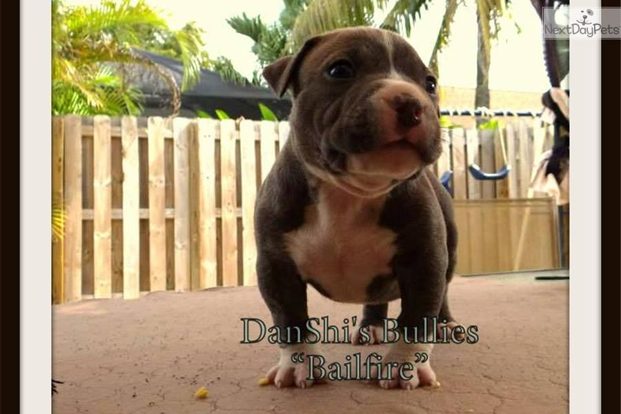 Ukc American Bully Abkc Ch Sired Baelifire American Bully For Sale American Bully Bullying