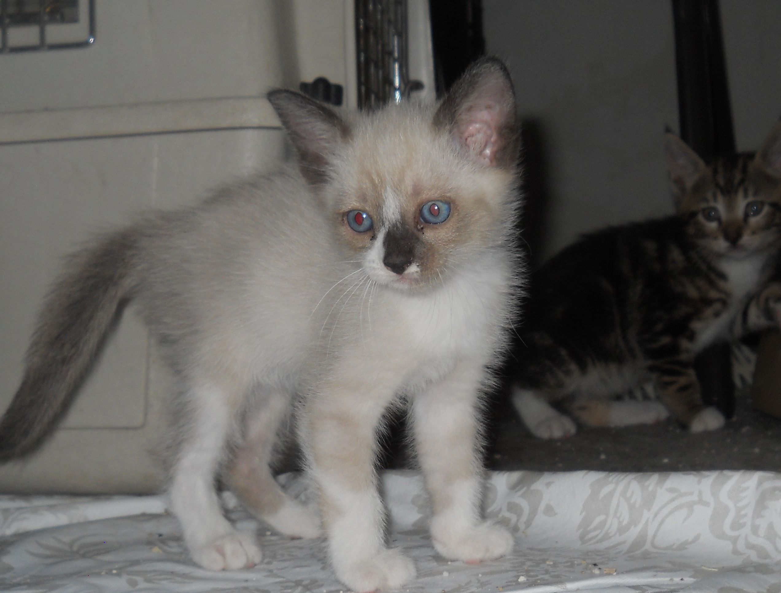 Frita Is A 6 Week Old Siamese Blend Kitten Who Is Playful And Sweet Adoption Fee Is 60 Apply With Another Chance Ani Animal Welfare League Pets Cute Animals