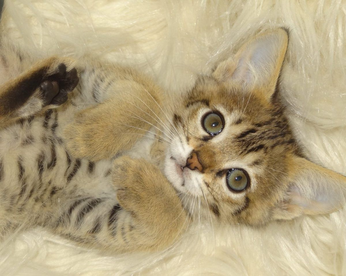 Luna's FIP Story Kittens, Savannah kitten, Feline