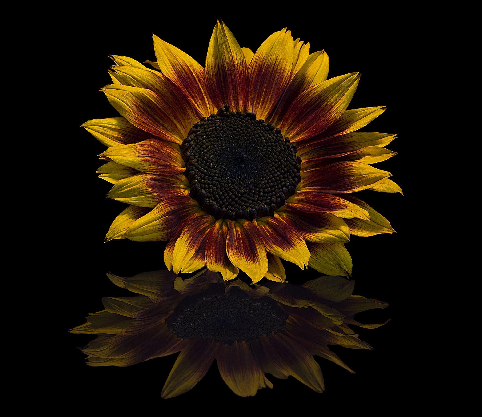 Sunflower Bicolor Sunflower Sunflower Photography Flowers