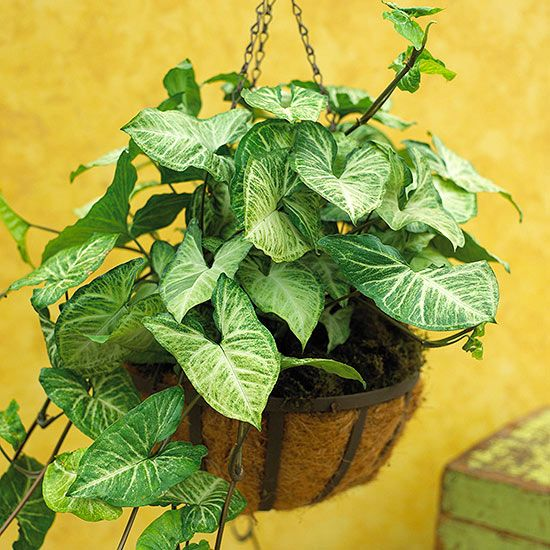 ORGANIC GIANT CLIMBING SYNGONIUM PODOPHYLLUM LIVE House Plant One One Feet Tall
