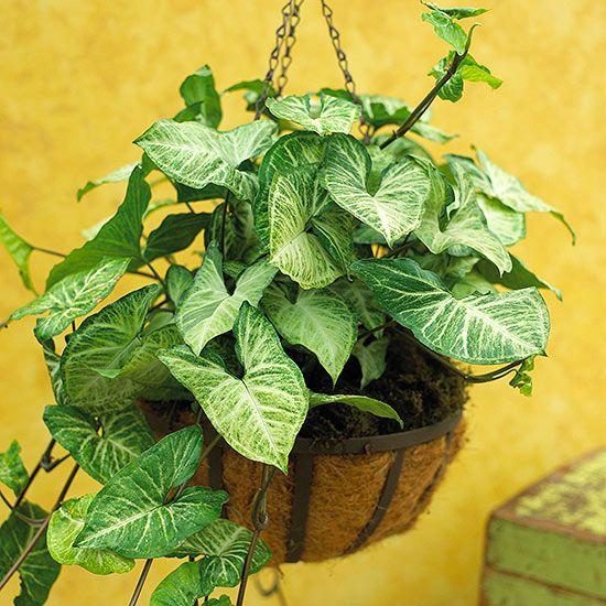 Arrowhead Vine Plants Indoor Shade Plants Arrowhead Vine