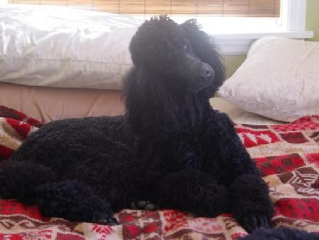 Black Standard Poodle Puppies Our Poodle Family In Georgia And