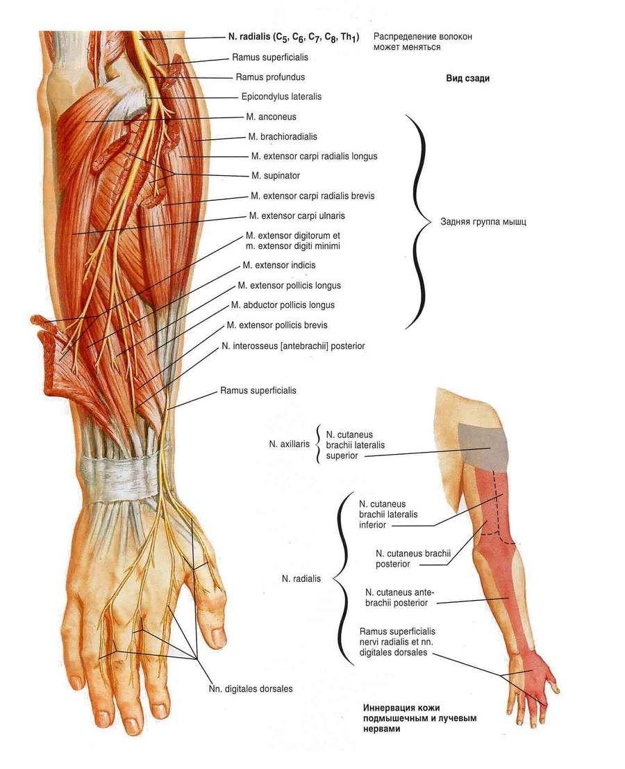 Сосуды и нервы верхней конечности - здоровье и спорт   Популярная ...