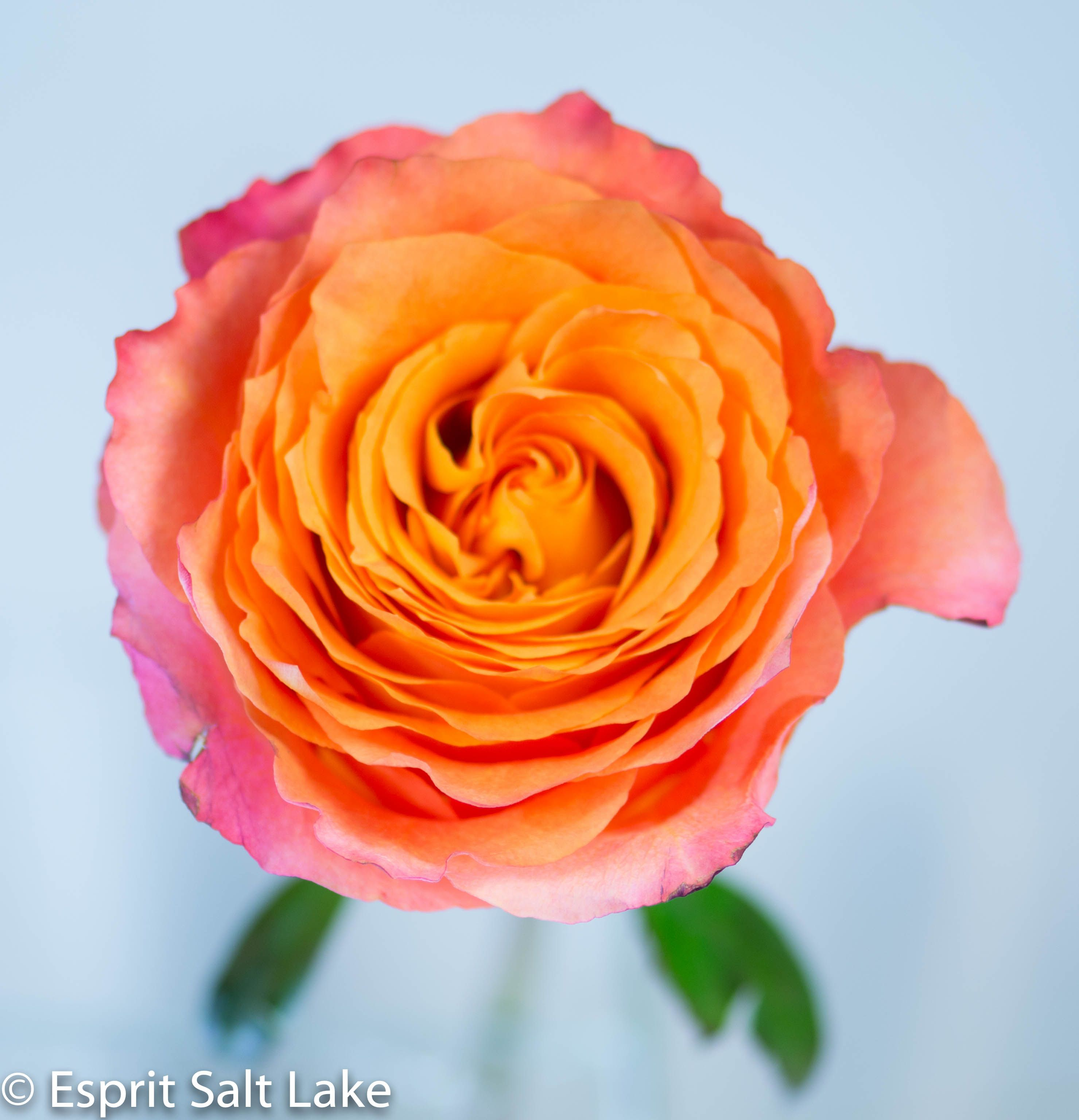 """""""Free Spirit"""" Rose Free spirit rose, Coral flowers, Rose"""