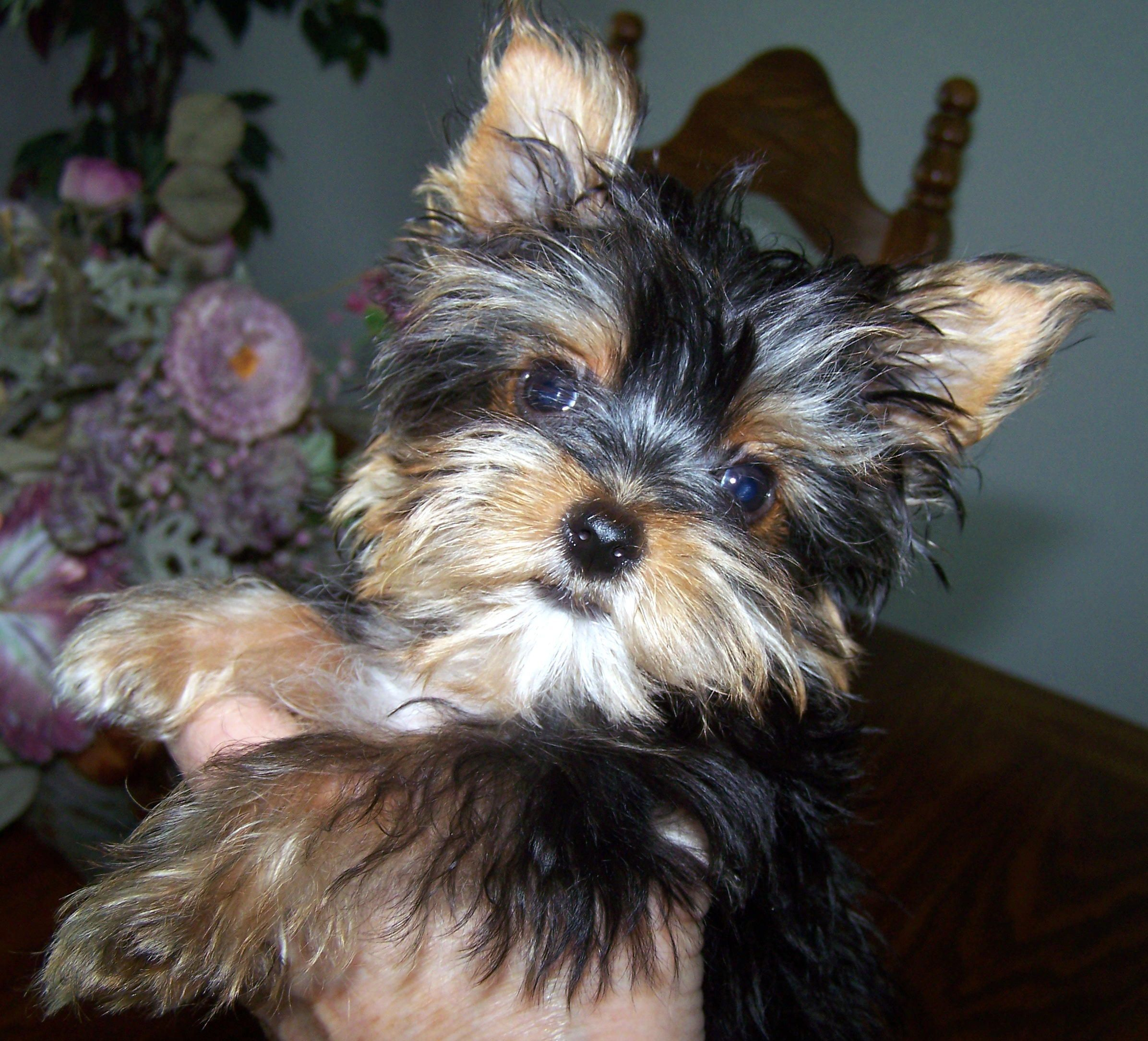 Welcome To The Wonderful World Of Yorkshire Terriers Breeder In East Texas Yorkshirete Yorkshire Terrier Puppies Yorkshire Terrier Breeders Yorkshire Terrier