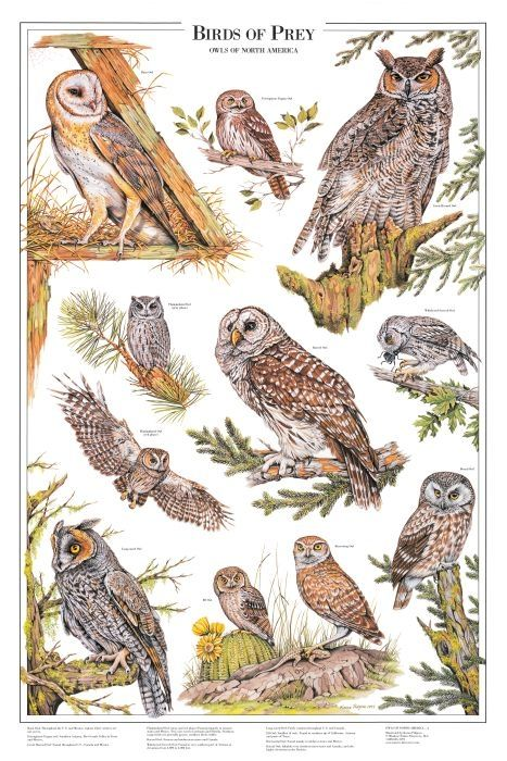 Minnesota Bird Identification Chart | Birds of Prey: Owls Poster A ...