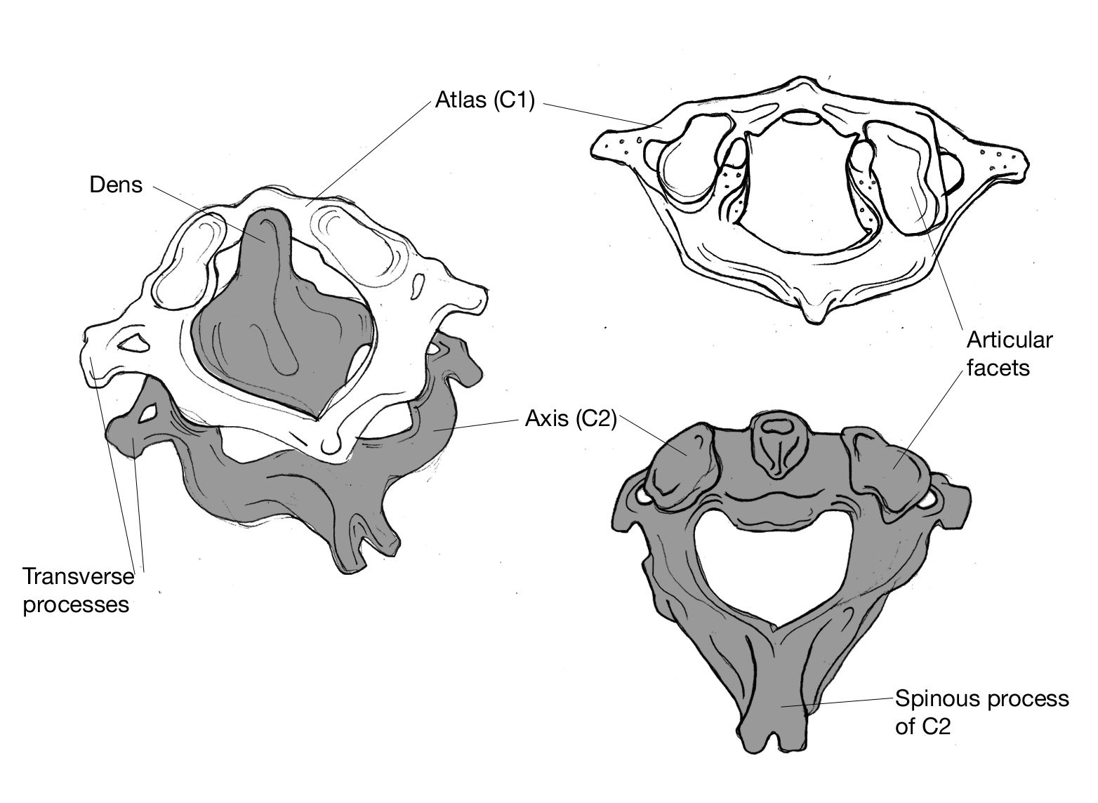 Atlas First Cervical Vertebra Holds Up The Skull And
