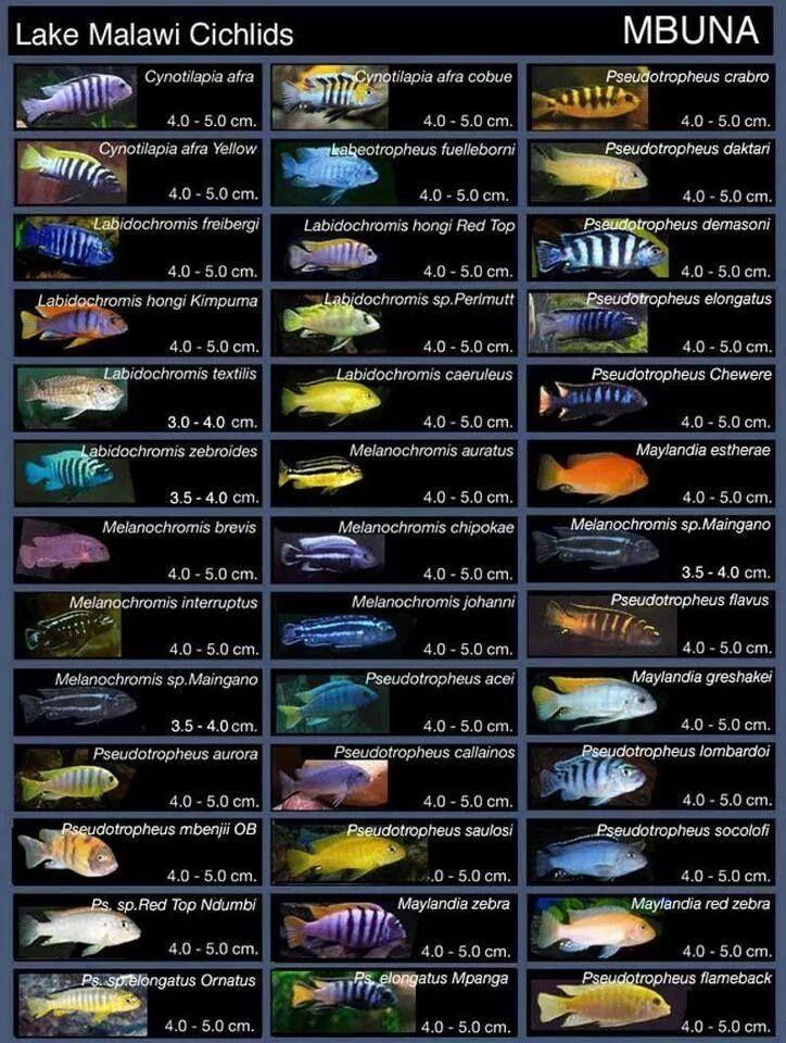 Lake Malawi Cichlids Malawi Cichlids Tropical Freshwater Fish African Cichlid Aquarium