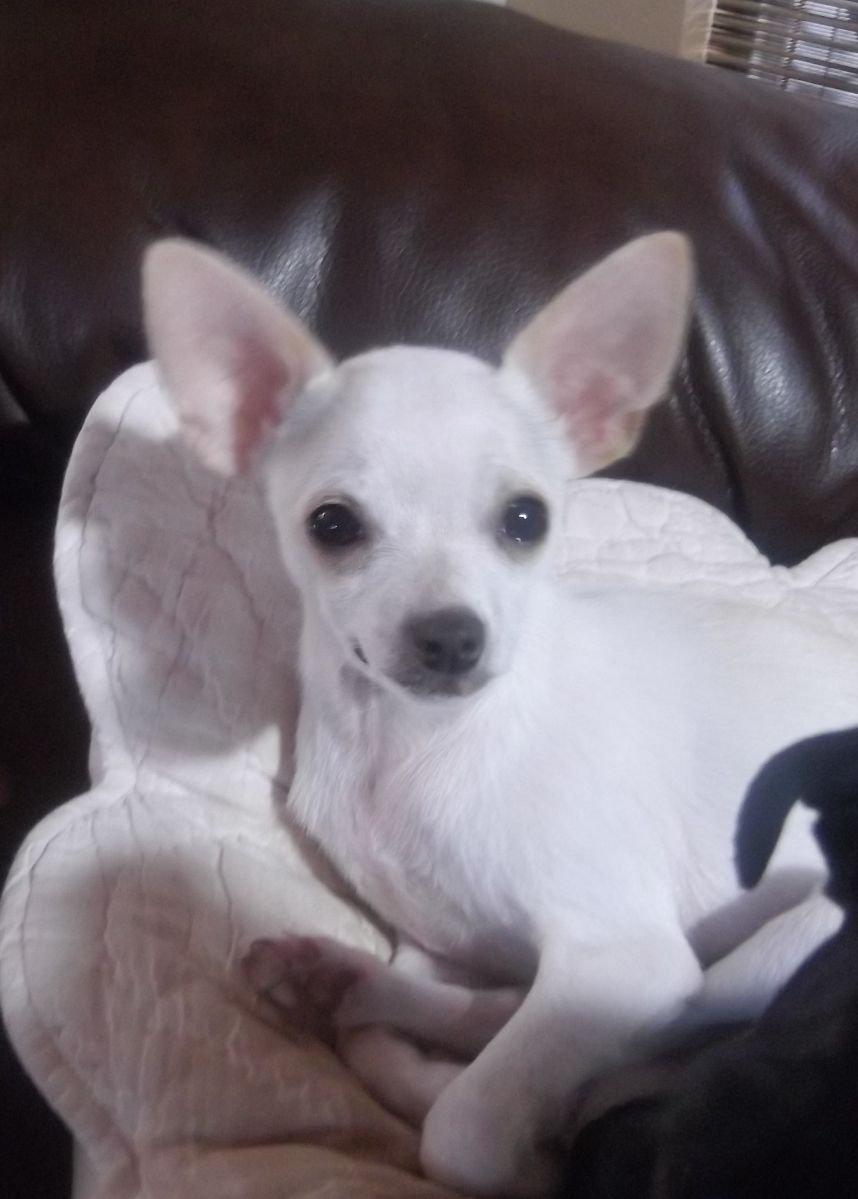 Crochet Along Cute Puppies And Kittens Chihuahua Puppies